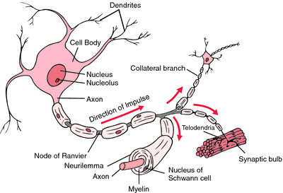 Structure of a typical myelin sheath. From medical-dictionary.thefreedictionary.com